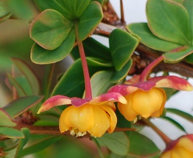 Berberis microphylla