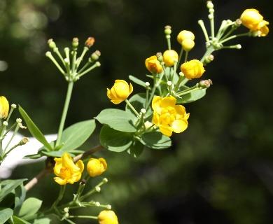 Berberis rotundifolia