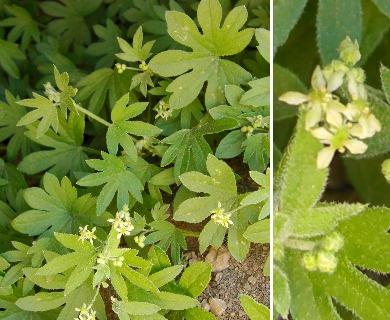Bowlesia tropaeolifolia