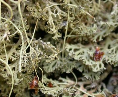 Bunodophoron ramuliferum