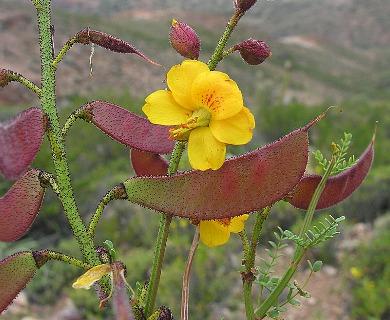 Caesalpinia angulata