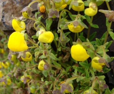 Calceolaria andina