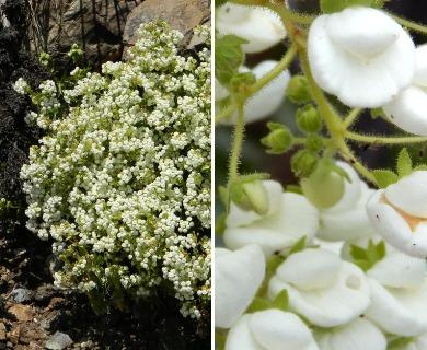 Calceolaria nitida
