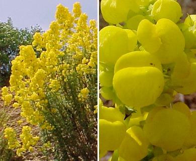 Calceolaria thyrsiflora