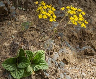 Calceolaria valdiviana