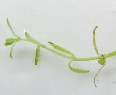Callitriche palustris