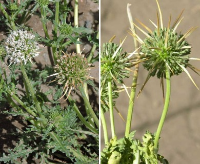 Calycera herbacea