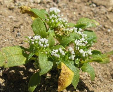 Calycera sessiliflora