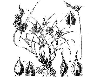 Carex fuscula