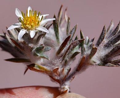 Chaetanthera lycopodioides