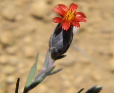 Chaetanthera microphylla