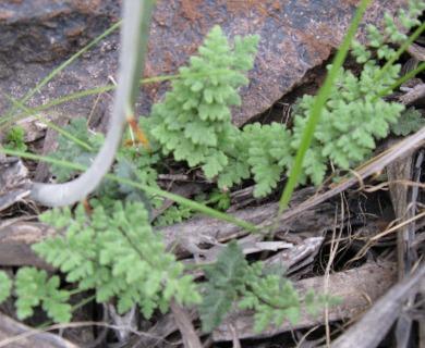 Cheilanthes hypoleuca
