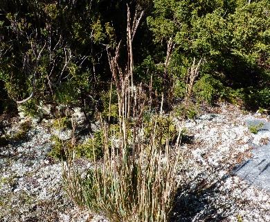 Chusquea montana
