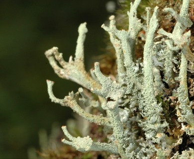 Cladonia polydactyla