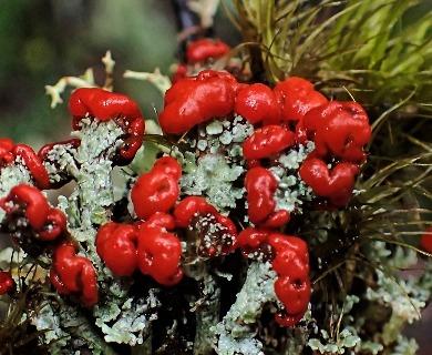 Cladonia ustulata