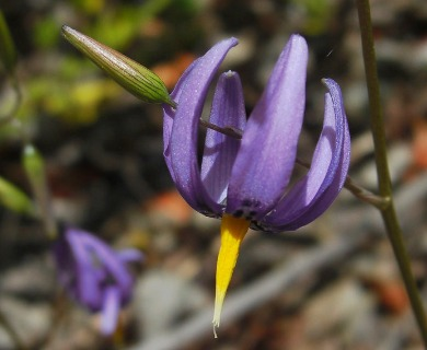 Conanthera bifolia