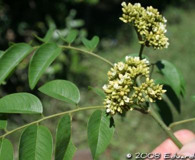 Dalbergia frutescens