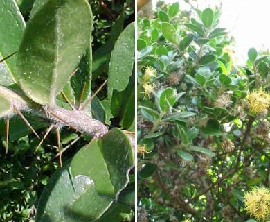 Dasyphyllum excelsum