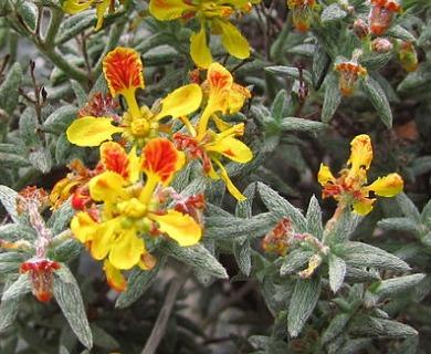 Dinemandra ericoides