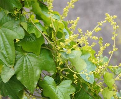 Dioscorea bryoniifolia