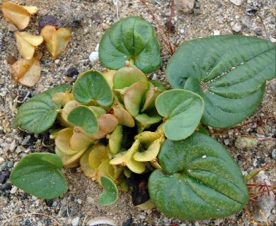 Dioscorea fastigiata
