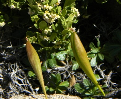Diplolepis nummulariifolia