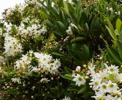 Drimys confertifolia