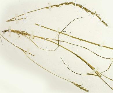 Elymus angulatus
