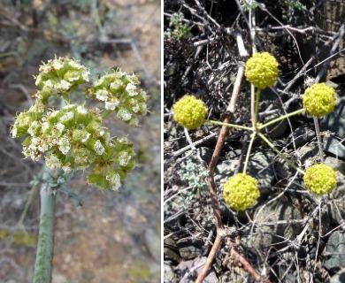 Eremocharis fruticosa