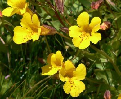 Erythranthe lutea