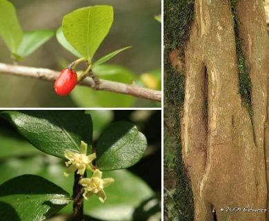 Erythroxylum cuneifolium