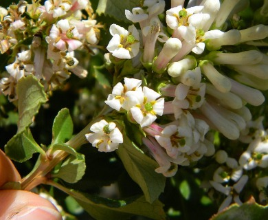 Escallonia myrtoidea