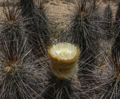 Eulychnia breviflora