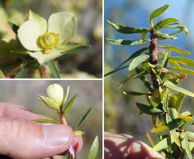 Euphorbia lactiflua