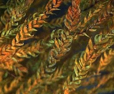 Eustichia longirostris