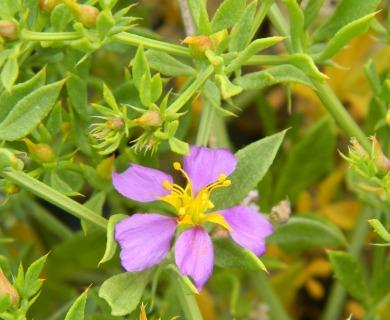 Fagonia chilensis