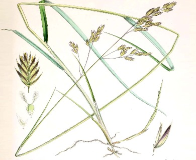 Festuca purpurascens