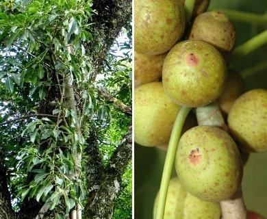 Ficus luschnathiana