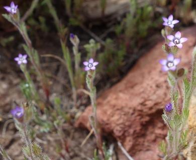 Gilia laciniata