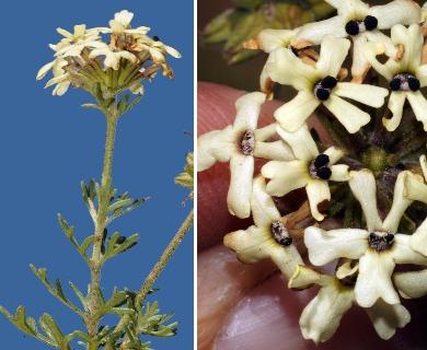 Glandularia sulphurea