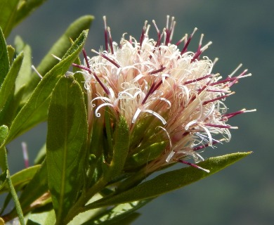 Gochnatia foliolosa