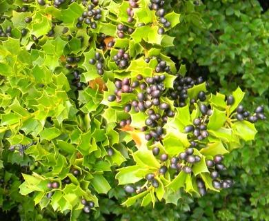Griselinia jodinifolia