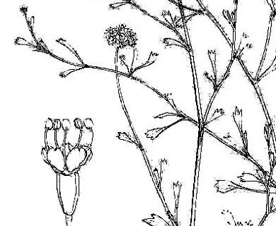 Gymnophyton flexuosum