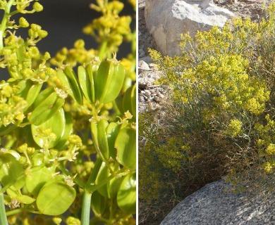 Gymnophyton isatidicarpum