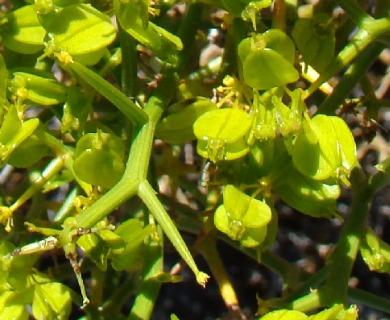 Gymnophyton robustum