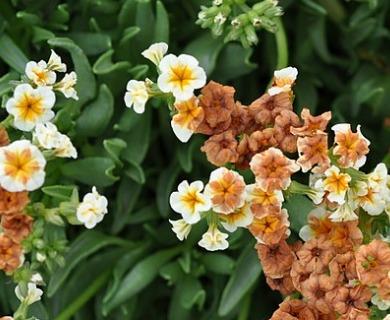 Heliotropium floridum