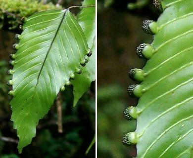 Hymenoglossum cruentum
