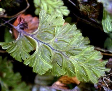 Hymenophyllum cuneatum