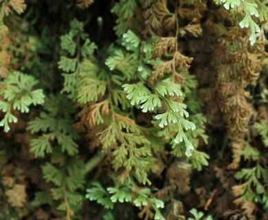 Hymenophyllum ferrugineum