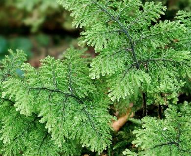 Hymenophyllum plicatum